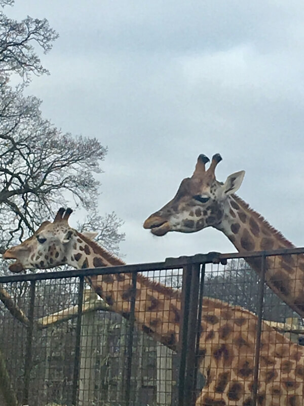 giraffes at Longleat Safari Park